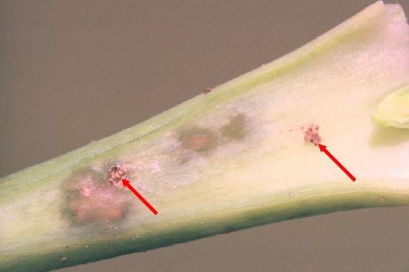 larves a la tija saltiro