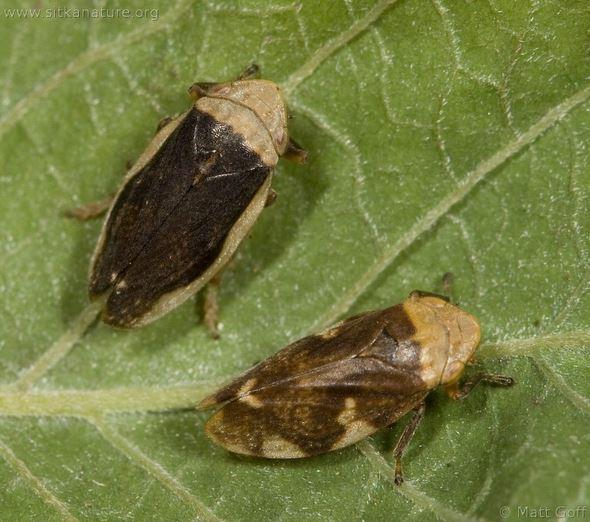 Philaenusspumarius